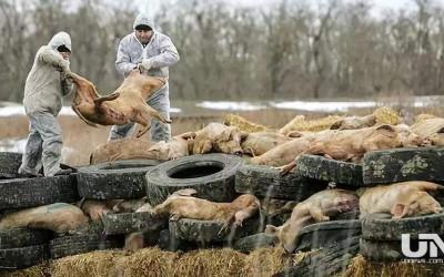 海南:未发布成功研制预防非洲猪瘟病毒注射剂公告
